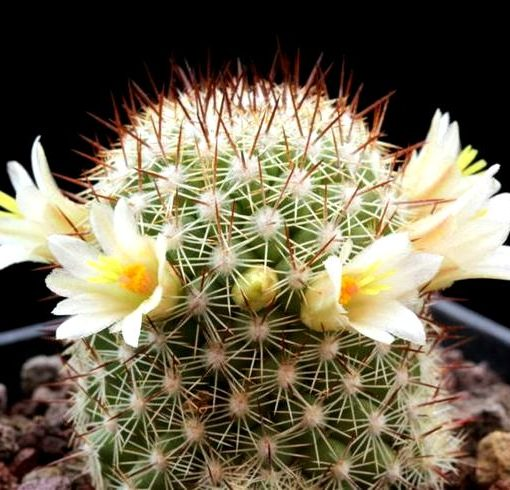 78a95cdcb49860f37c1091ef567458be–cactus