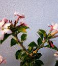 Pachypodium_Saundersii_in_flower