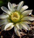 gymnocalycium-schroederianum-subsp-bayense-jpr-92-3_61