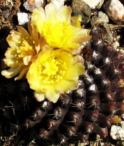 copiapoa-tenuissima-02-competitor-copia