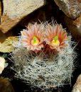Escobaria dasyacantha
