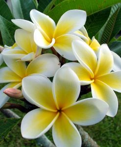 nurserylive-plumeria-champa-yellow-plant7