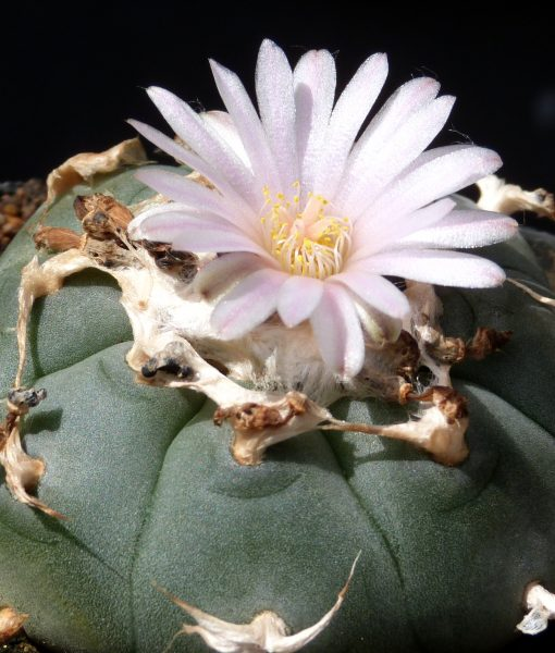 Lophophora williamsii [1698]