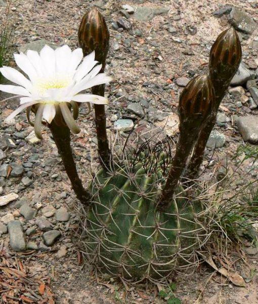 echinopsis_leucantha_p8273