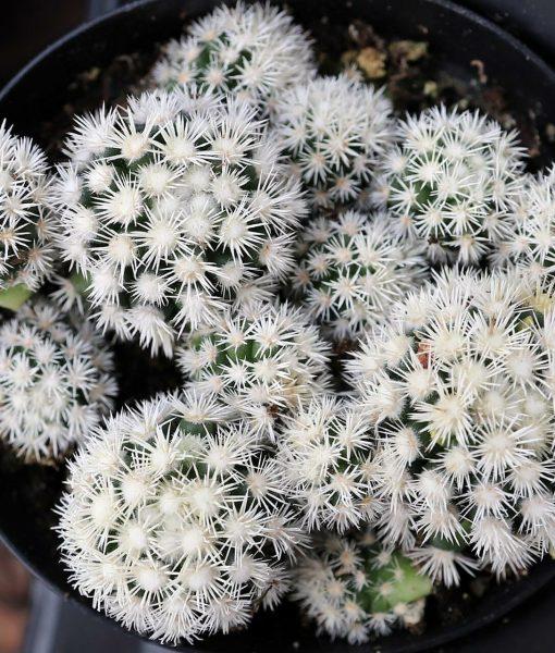 mammillaria_gracilis_fragilis_monstrose_Arizona_snowcap_01-30-19__27114.1602191078